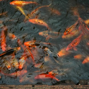 The Emperor's Goldfish