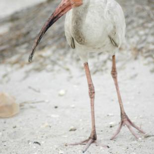 The White Ibis
