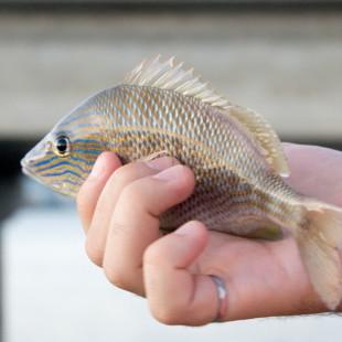 Grunt Fish