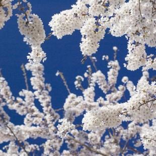 Cherry Blossom Details